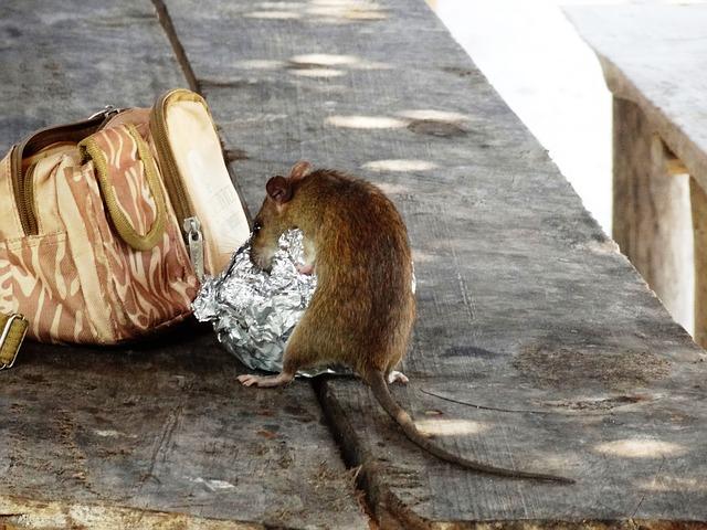Les nuisibles et les zoonoses : les zoonoses des rats