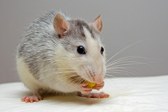 Les rats sont ils intelligents ?