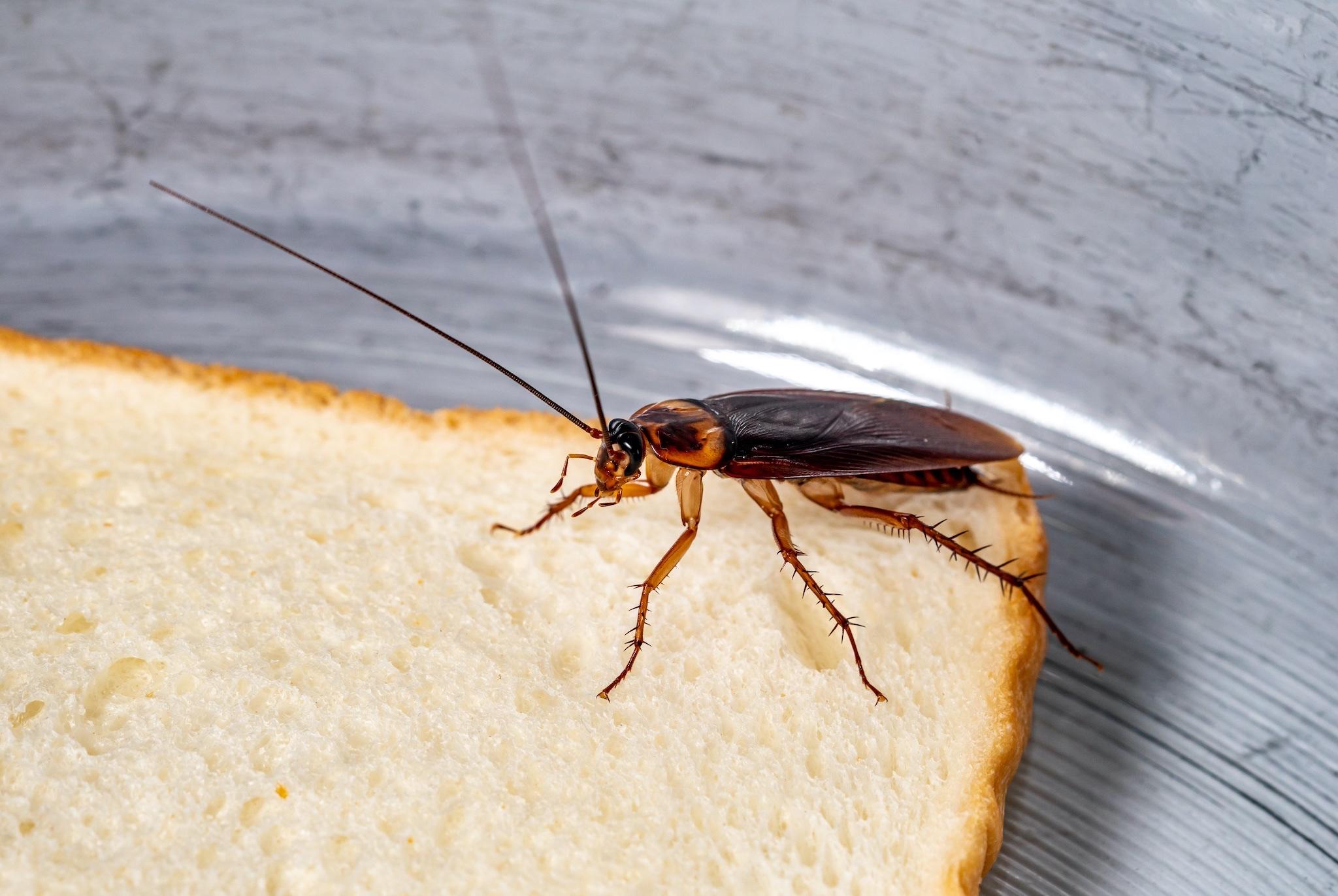 Maîtrise des populations de blattes