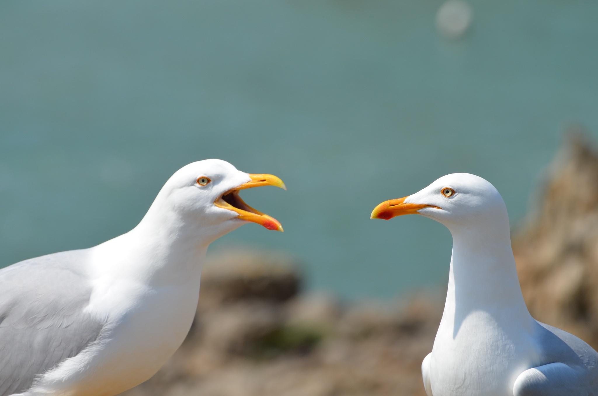 Maîtrise des populations de goélands