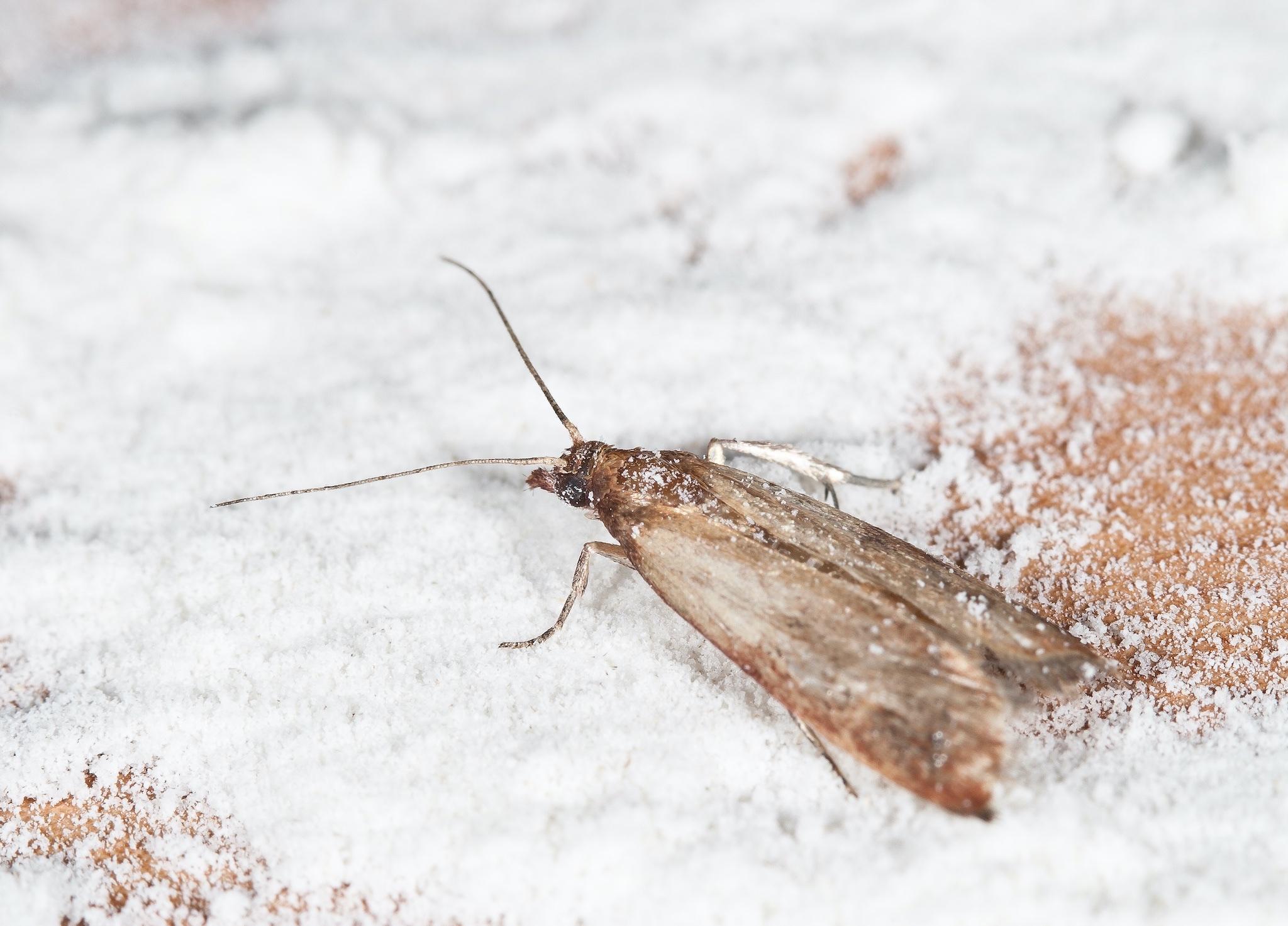Read more about the article Maîtrise des populations de mites alimentaires