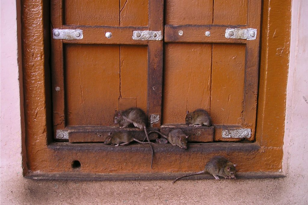 nuisibles-rats