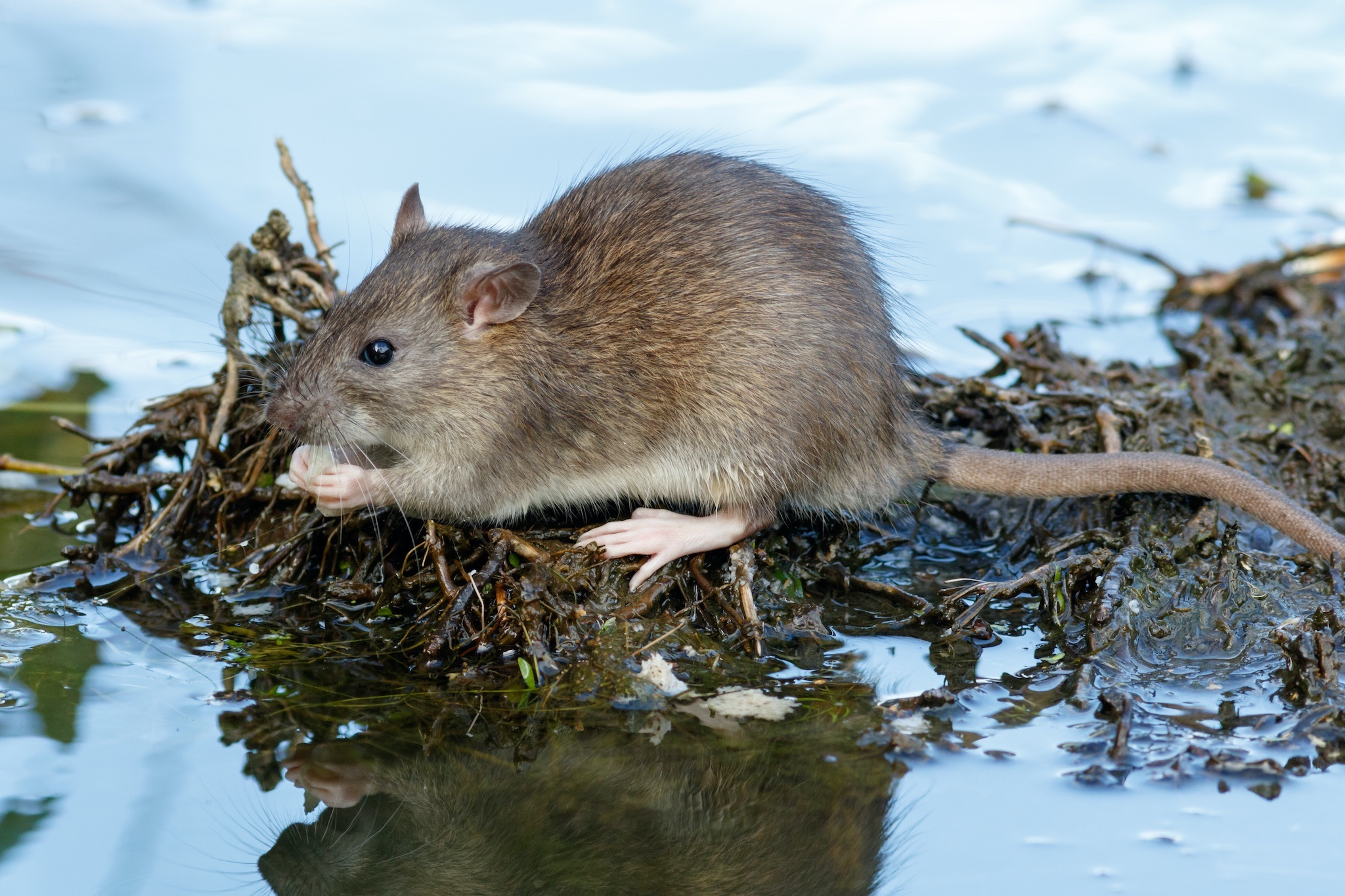 Read more about the article Rat
