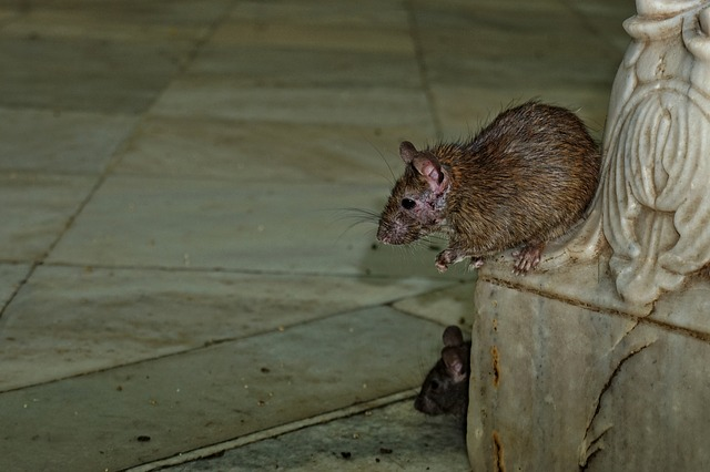 Les rats dans les jardins publics