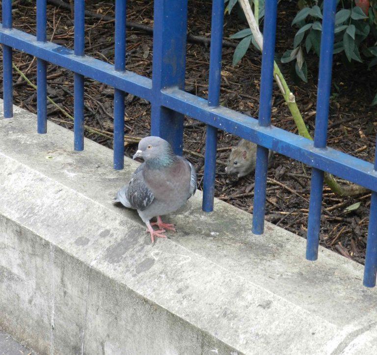 Les pigeons et les rats ont-ils disparu de Paris ?