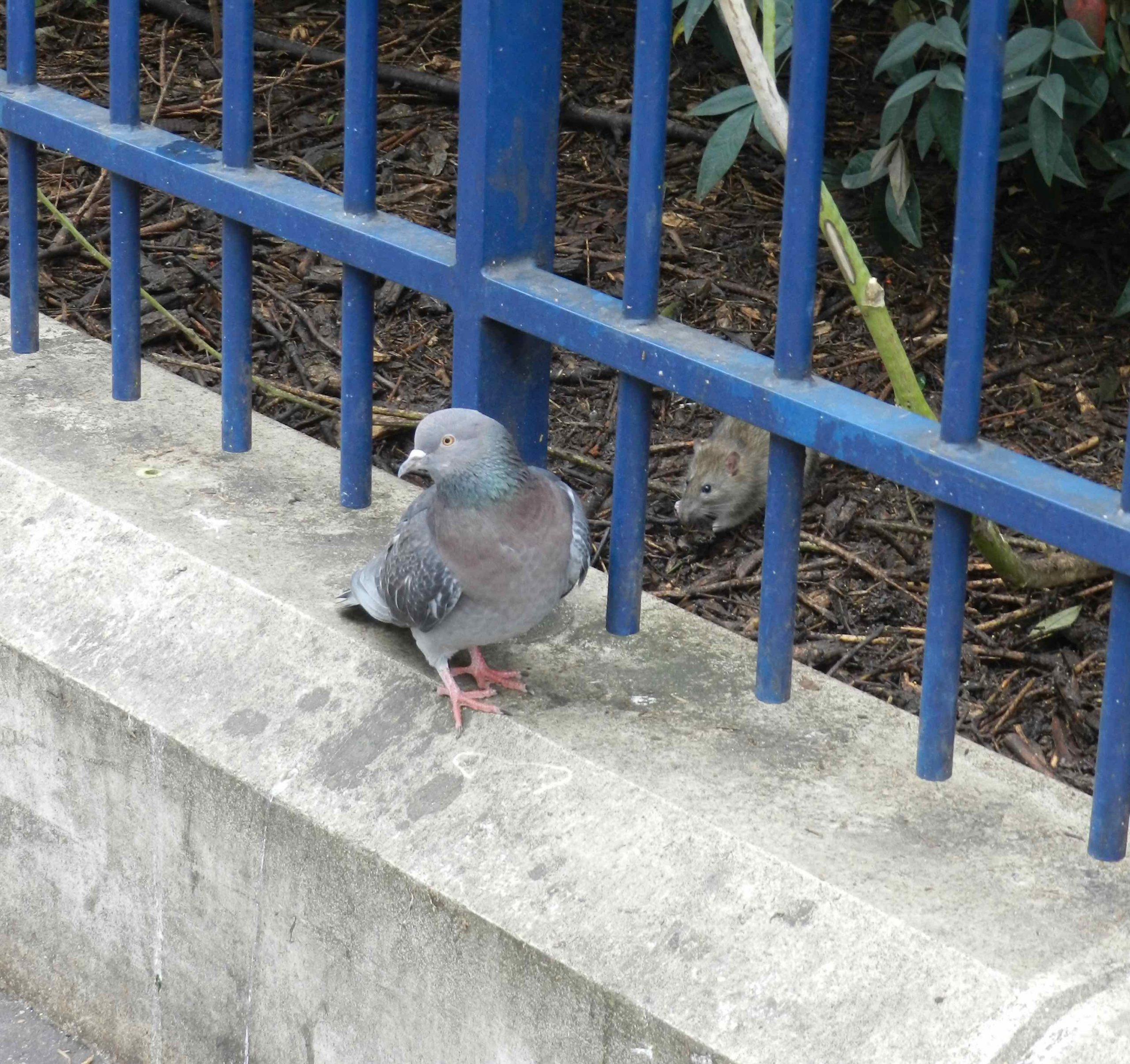 Les pigeons et les rats ont-ils disparu de Paris