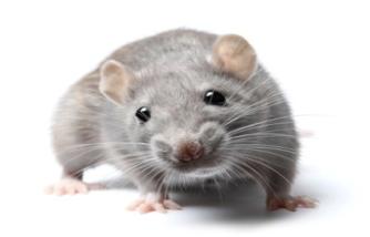 Faut-il gérer les populations de rats?