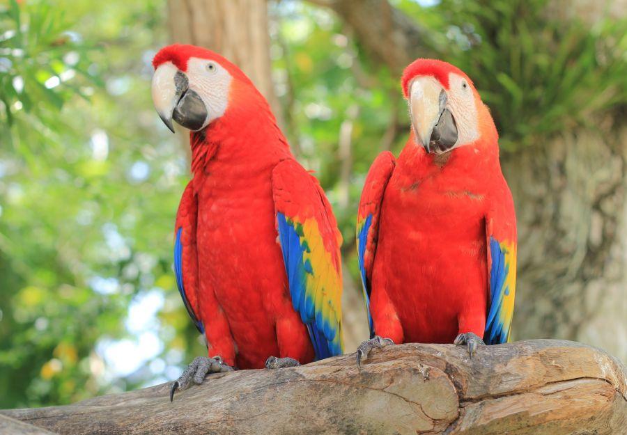 deux perroquets en rouge sont assis sur une branche d'arbre
